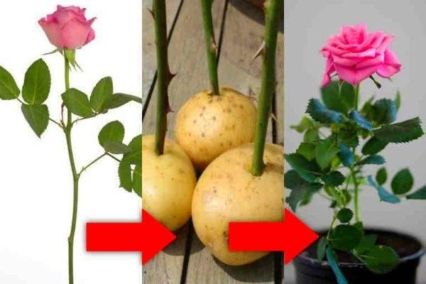 تکثیر گل رز